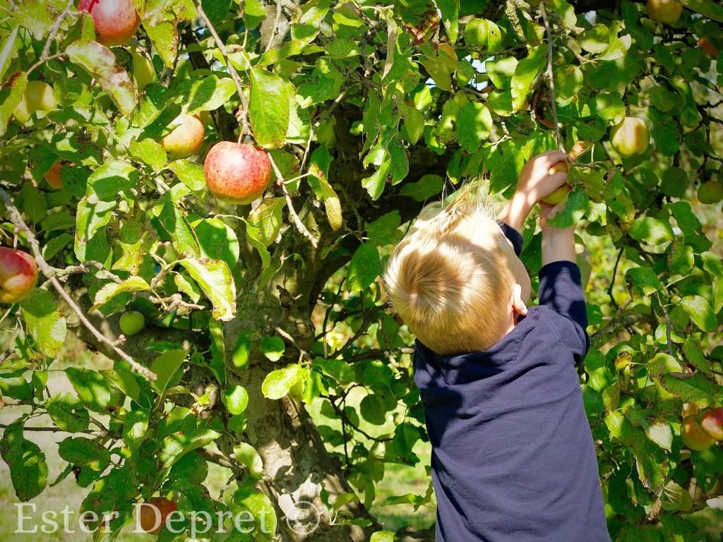 Appels plukken zelfplukboerderij / zelfoogstboerderij